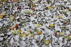 Apples lay under snow. Apples lay on the ground under white snow Stock Photo
