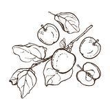 Apples with leaves on a branch. Set. The botanical collection of fruits. Hand drawn. Royalty Free Stock Photo