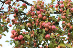 Apples. A lot of red apples on branch Stock Images