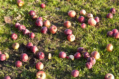 Apples lying on the grass Stock Images