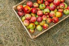 Apples lying on hay in wood box, top view, copy space. Toned Stock Images