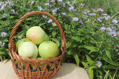 The apples lying in a wattled basket on a table Royalty Free Stock Photo