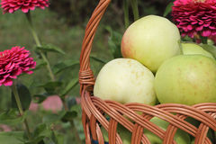 The apples lying in a wattled basket on a table in a garden Royalty Free Stock Images