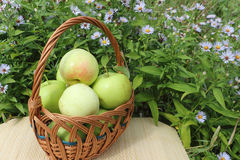 The apples lying in a wattled basket on a table in a garden Royalty Free Stock Image