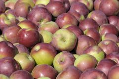 Apples macintosh fraichement picked Royalty Free Stock Photography