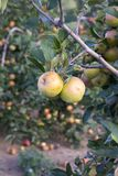 Apples on tree in orchard in countryside Royalty Free Stock Image