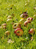 Apples on a meadow Royalty Free Stock Photos