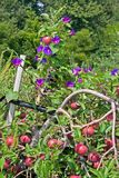 Apples & Morning Glories Royalty Free Stock Images