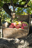 Apples in an old wooden crate on tree Royalty Free Stock Images