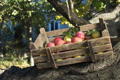 Apples in an old wooden crate on tree Royalty Free Stock Photography