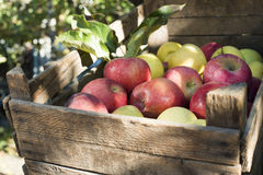 Apples in an old wooden crate on tree. Authentic image Stock Image