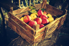 Apples in an old wooden crate on tree Stock Photography