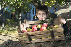 Apples in an old wooden crate on tree Stock Photo