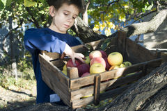 Apples in an old wooden crate on tree Stock Images