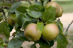 Free Apples On A Tree Royalty Free Stock Photography - 1285287