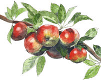 Free Apples On A Tree Watercolor Illustration Painting Isolated On White Background Royalty Free Stock Images - 82019559