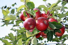 Free Apples On The Tree Royalty Free Stock Images - 99166039