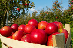 Apples in orchard. Fresh red apples in orchard Royalty Free Stock Image