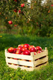 Apples in orchard. Fresh red apples in orchard Stock Image