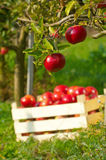 Apples in orchard. Fresh red apples in orchard Stock Photos