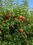 Apples in the Orchard Stock Image