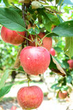 Apples in Orchard Stock Photos