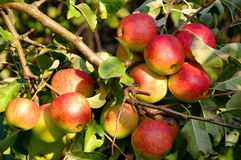 Apples in the orchard. Royalty Free Stock Photos