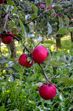 Apples in orchard, Royalty Free Stock Photo
