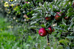Apples in orchard, Royalty Free Stock Image