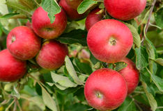 Apples in an orchard. Red apples on a tree in an orchard Royalty Free Stock Photos