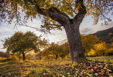 Apples orchid meadow in autumn sunset light Stock Image