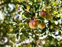 Beautiful apples come to maturity. Apples organic home grown in royalty free stock photos
