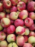 Apples of Paradise royalty free stock photography