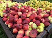 Apples and pears. Red and yellow apples Royalty Free Stock Image