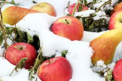 Apples and pears in the snow stock image