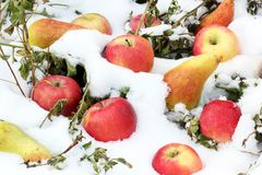 Apples and pears in the snow. Fruits on the snow royalty free stock photos