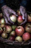 Apples. Picking up fresh apples stored in a basket Royalty Free Stock Photography