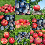 Apples and plums fruit collage Stock Image