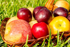 Apples and plums. Apples and plums in a wicker basket on the grass stock image