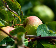 Apples in the rain Royalty Free Stock Photo