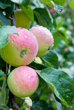 Apples after rain Stock Images