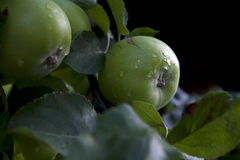 Apples in the rain. Apples on the tree with rain drops Stock Photos