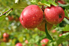 Apples with Raindrops Royalty Free Stock Photo