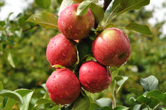 Apples with Raindrops Royalty Free Stock Image