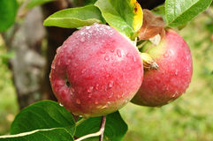 Apples with Raindrops Royalty Free Stock Photos