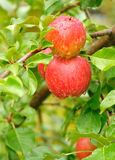 Apples with Raindrops. Ripe Red Apples Covered with Raindrops Stock Image