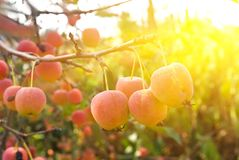 Apples in a rays of sun Royalty Free Stock Photos