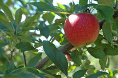 Apples ready for the Picking. Single red apple on tree Stock Image