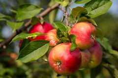 Apples. Red apple on branch with green leaf Stock Image