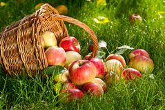 Apples. Red Apples with Wicket Basket in the Grass stock image